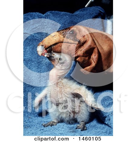 Photograph of a California Condor Chick being fed by a Puppet by JVPD