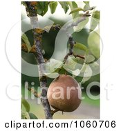 Ripe Organic Pear Hanging From A Tree Royalty Free Stock Photo by Kenny G Adams