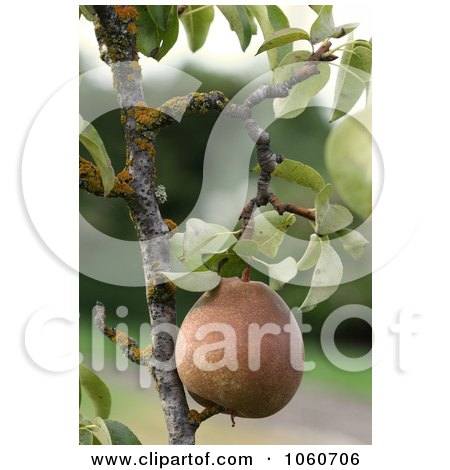 Ripe Organic Pear Hanging From A Tree - Royalty Free Stock Photo by Kenny G Adams