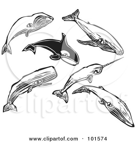 Royalty-Free (RF) Clipart Illustration of a Digital Collage Of Engraved Styled Bowhead, Humpback, Orca, Narwal, Sei And Sperm Whales by xunantunich