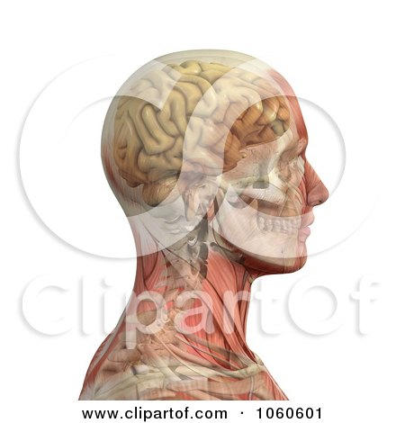 Royalty-Free CGI Clip Art Illustration of a 3d Profiled Male Head With Transparent Muscles With The Skull And Brain by Michael Schmeling