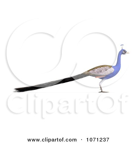 Clipart 3d Blue Peacock 2 - Royalty Free CGI Illustration by Ralf61