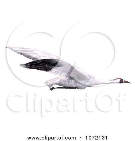 Clipart 3d White Crane Bird Flying 4 - Royalty Free CGI Illustration by Ralf61
