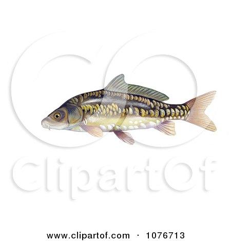 Mirror Carp Fish (Cyprinus carpio) - Royalty Free Historical Clip Art  by JVPD