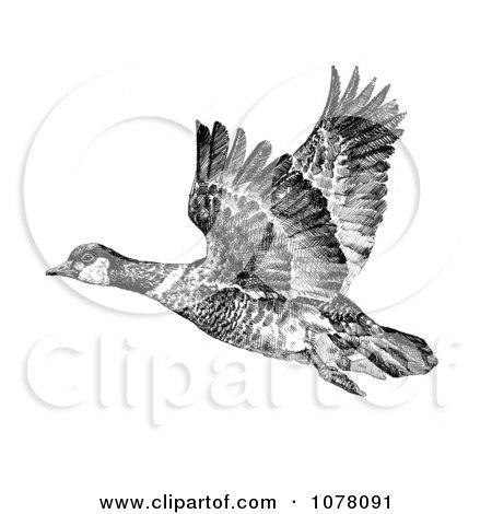 Aleutian Canada Geese (Branta canadensis leucognaphalus) - Royalty Free Clip Art by JVPD