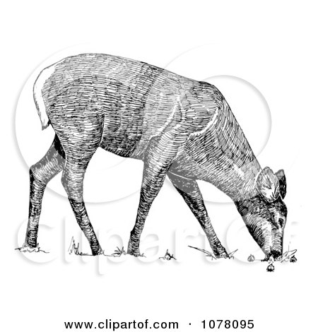 Grazing White-tailed Deer - Royalty Free Clip Art by JVPD #1078095