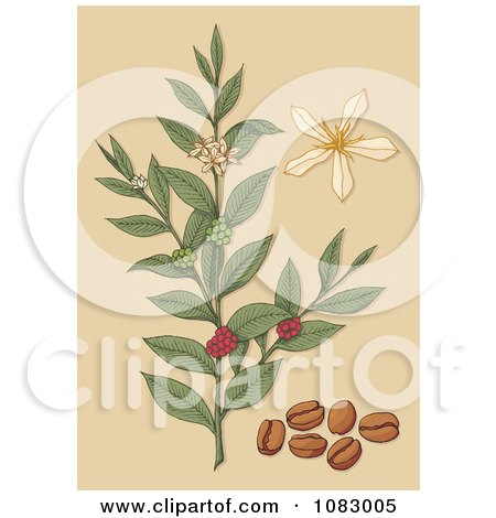 Clipart Coffee Plant With Beans Berries And Flowers - Royalty Free Vector Illustration by Any Vector