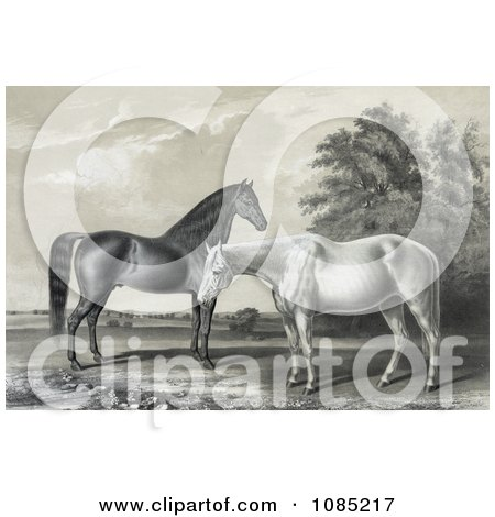 Two Beautiful Horses, Black Hawk And Lady Suffolk, Standing Together - Royalty Free Stock Illustration by JVPD