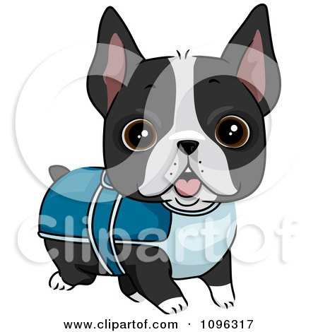 Clipart Cute Boston Terrier Puppy Dog Wearing A Sweater - Royalty Free Vector Illustration by BNP Design Studio
