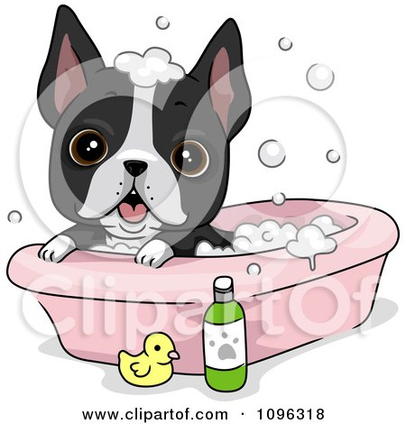 Clipart Cute Boston Terrier Puppy Dog Bathing - Royalty Free Vector Illustration by BNP Design Studio