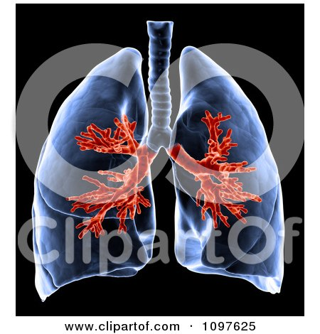 Clipart 3d Medical Human Lungs With Visible Bronchi - Royalty Free CGI Illustration by Mopic