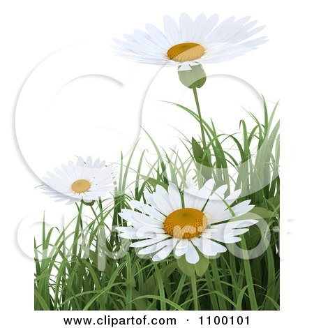 Clipart 3d White Daisy Flowers And Spring Grass Over White - Royalty Free CGI Illustration by KJ Pargeter