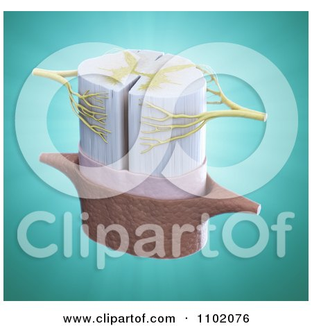 Clipart 3d Spinal Disc And Nerves Over Turquoise - Royalty Free CGI Illustration by Mopic