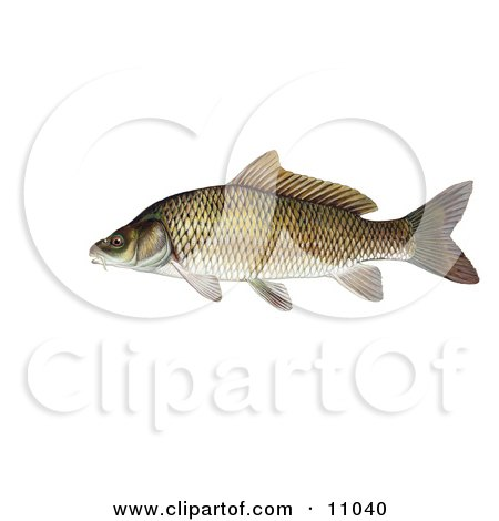 Clipart Illustration of a Common Carp or European Carp Fish (Cyprinus carpio) by JVPD