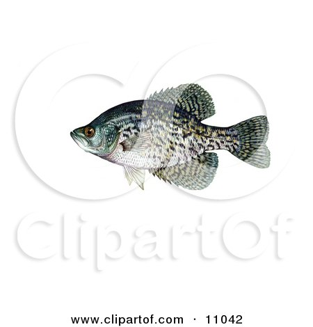 Clipart Illustration of a Black Crappie Fish (Pomoxis nigromaculatus) by JVPD