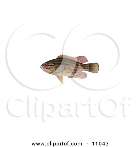 Clipart Illustration of a Mud Sunfish (Acantharchus pomotis) by JVPD