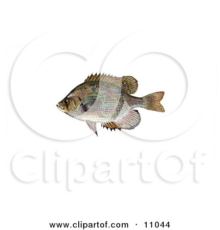 Clipart Illustration of a Flier Fish (Centrarchus macropterus) by JVPD