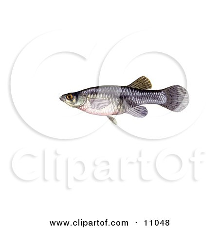 Clipart Illustration of a Freshwater Mosquitofish (Gambusia affinis) by JVPD