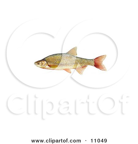 Clipart Illustration of a Golden Shiner Fish (Notemigonus crysoleucas) by JVPD