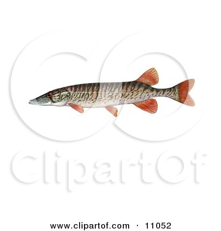 Clipart Illustration of a Redfin Pickerel Fish (Esox americanus americanus) by JVPD