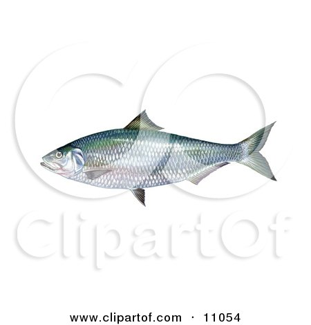 Clipart Illustration of an Alabama Shad Fish (Alosa alabamae) by JVPD