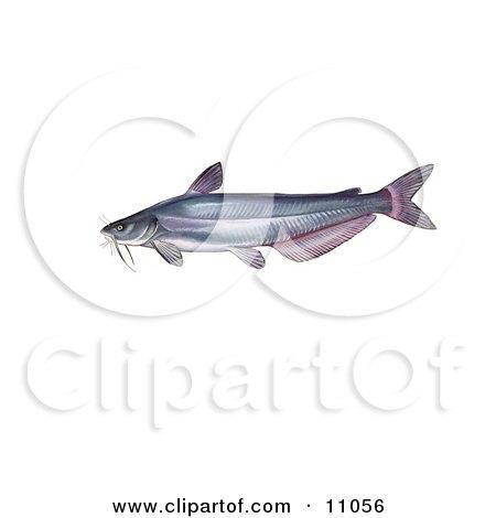 Clipart Illustration of a Blue Catfish (Ictalurus furcatus) by JVPD