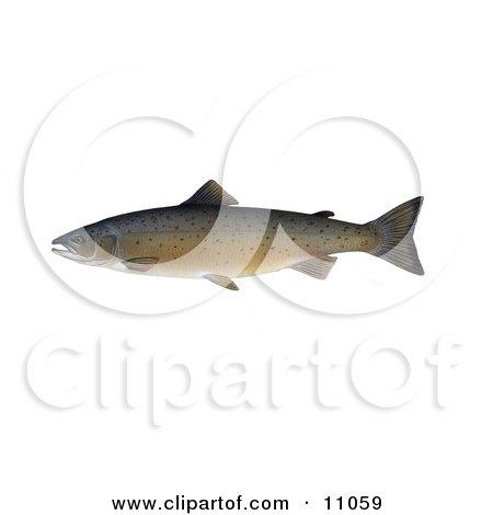 Clipart Illustration of an Atlantic Salmon (Salmo salar) by JVPD