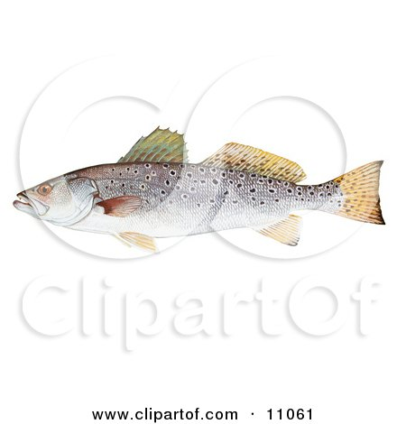 Clipart Illustration of a Spotted Seatrout Fish (Cynoscion nebulosus) by JVPD