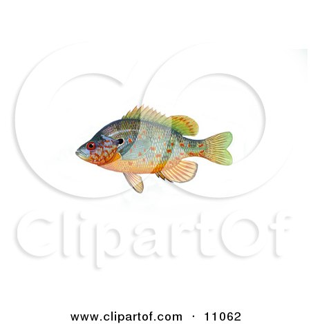 Clipart Illustration of an Orangespotted Sunfish (Lepomis humilis) by JVPD