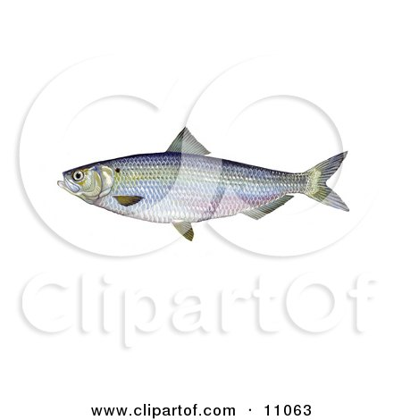 Clipart Illustration of a Blueback Herring Fish (Alosa aestivalis) by JVPD