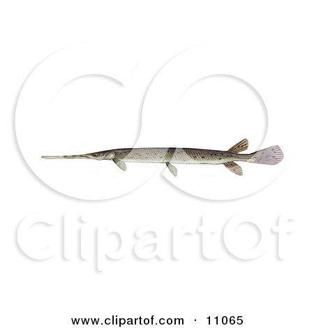 Clipart Illustration of a Longnosed/Longnose Gar Fish (lepisosteus osseus) by JVPD