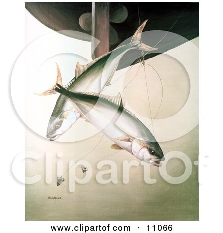Clipart Illustration of Yellowtail Fish (Seriola lalandei) Swimming After Hooks Under a Boat by JVPD