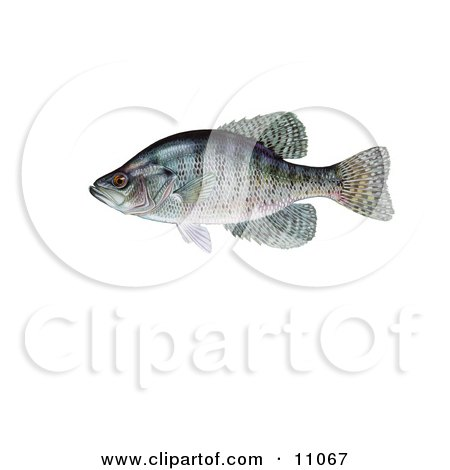 Clipart Illustration of a White Crappie Fish (Pomoxis annularis) by JVPD