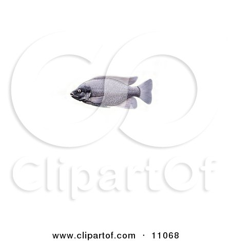 Clipart Illustration of a Tilapia Cichlid Fish by JVPD