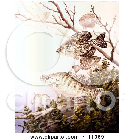 Clipart Illustration of Black Crappie and White Crappie Fish Swimming by JVPD
