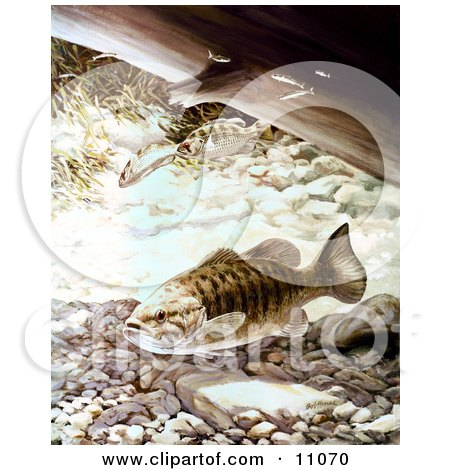 Clipart Illustration of Smallmouth Bass Fish Swimming Underwater by JVPD