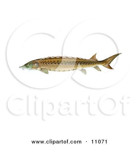 Clipart Illustration Of A Shortnose Sturgeon Fish