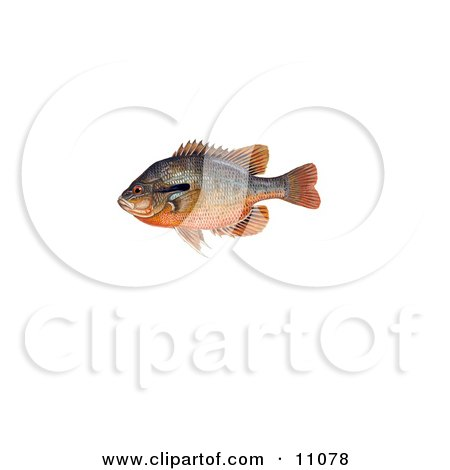 Clipart Illustration of a Redbreast Sunfish (Lepomis auritus) by JVPD