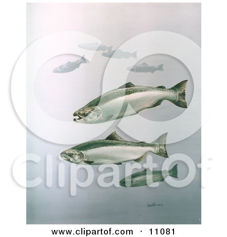 Clipart Illustration of King Salmon Fish Swimming in Blue Waters by JVPD