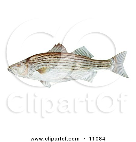 Clipart Illustration of a Striped Bass Fish (Morone saxatilis) by JVPD