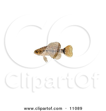 Clipart Illustration of a Pygmy Sunfish (Elassoma sp) by JVPD