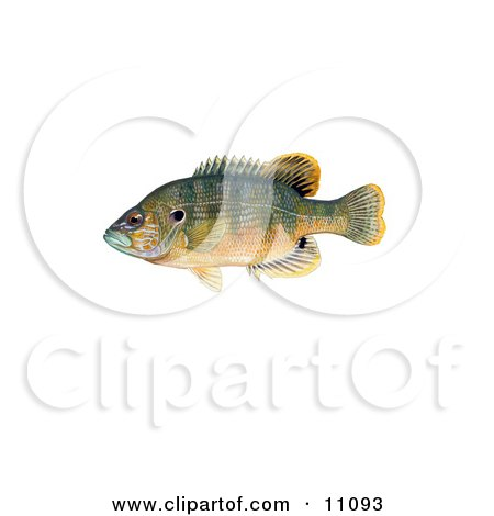 Clipart Illustration of a Green Sunfish (Lepomis cyanellus) by JVPD