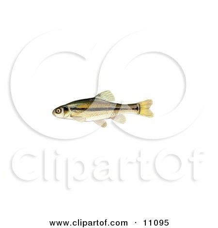 Clipart Illustration of a Fathead Minnow (Pimephales promelas) by JVPD