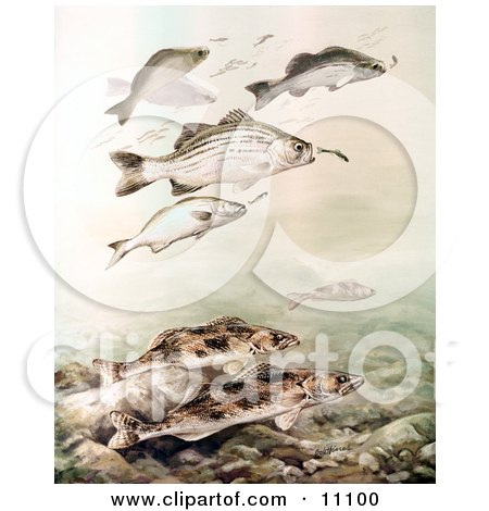 Clipart Illustration of Sauger and White Bass Fish Swimming by JVPD