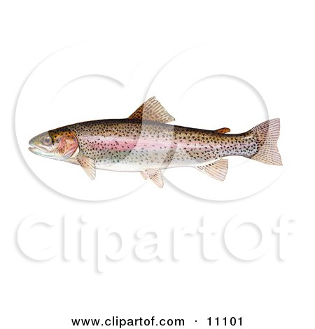 Clipart Illustration of a Rainbow Trout Fish (Oncorhynchus mykiss) by JVPD