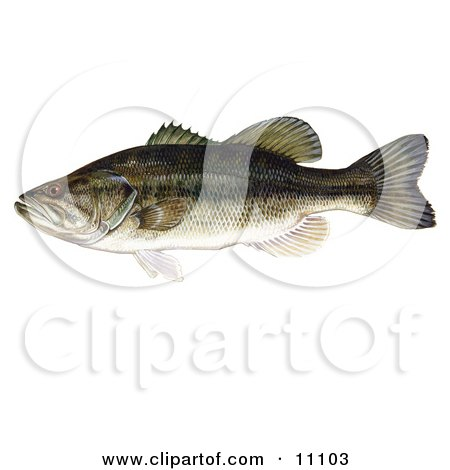 Clipart Illustration of a Largemouth Bass Fish (Micropterus salmoides) by JVPD