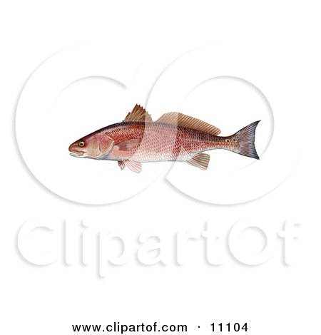 Clipart Illustration of a Red Drum Fish (Sciaenops ocellata) by JVPD