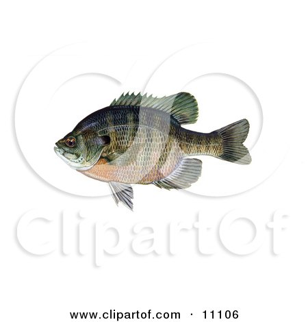 Clipart Illustration of a Bluegill Fish (Lepomis macrochirus) by JVPD