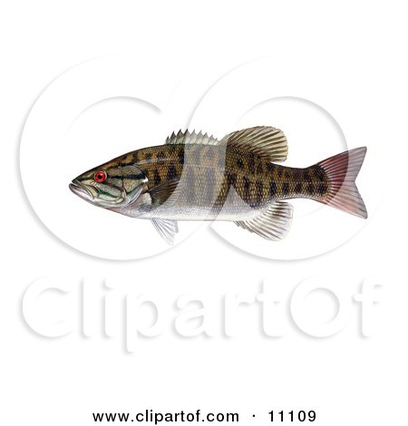 Clipart Illustration of a Smallmouth Bass Fish (Micropterus dolomieu) by JVPD