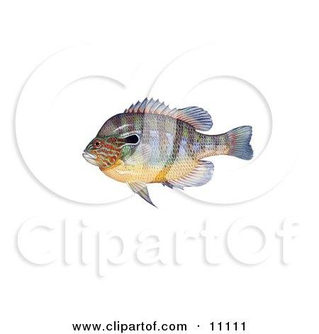 Clipart Illustration of a Longear Sunfish (Lepomis megalotis) by JVPD